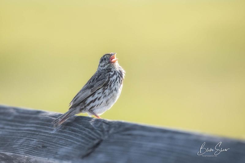 Savannah sparrow bolsa chica