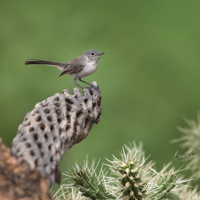 Black-tailed gnatcatcher 2