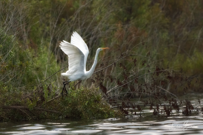 Great egret lake hodges 2