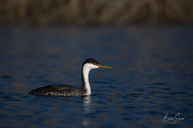 Western grebe lake hodges