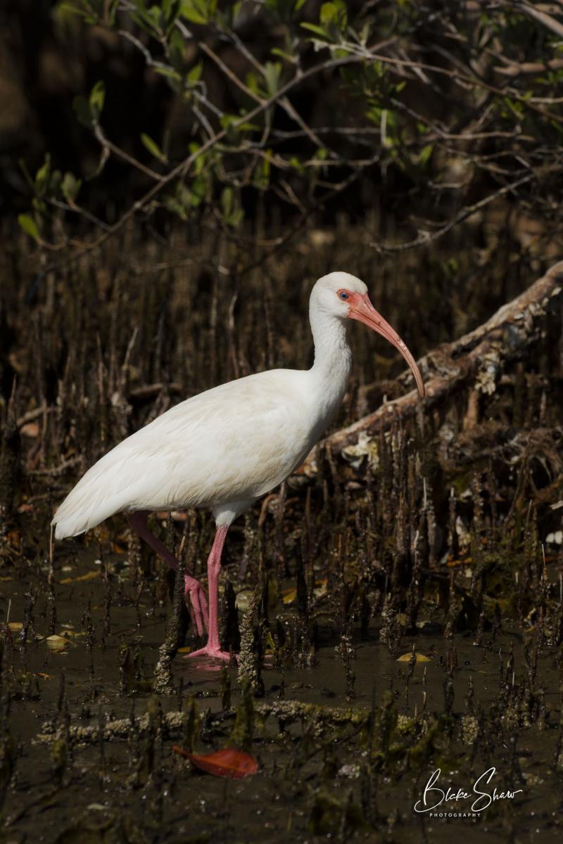 White ibis la paz
