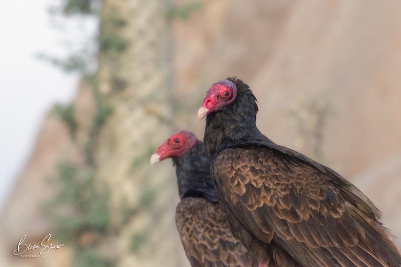 Turkey vultures cataviña