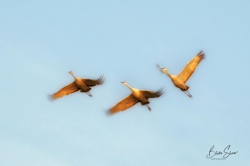 Sandhill cranes blur copy