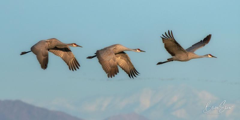Sandhill cranes salton sea