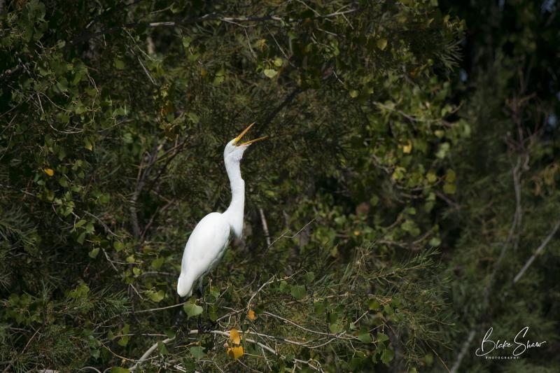 Great egret st. george utah