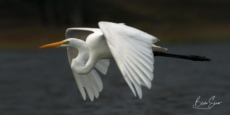 Great egret lake hodges