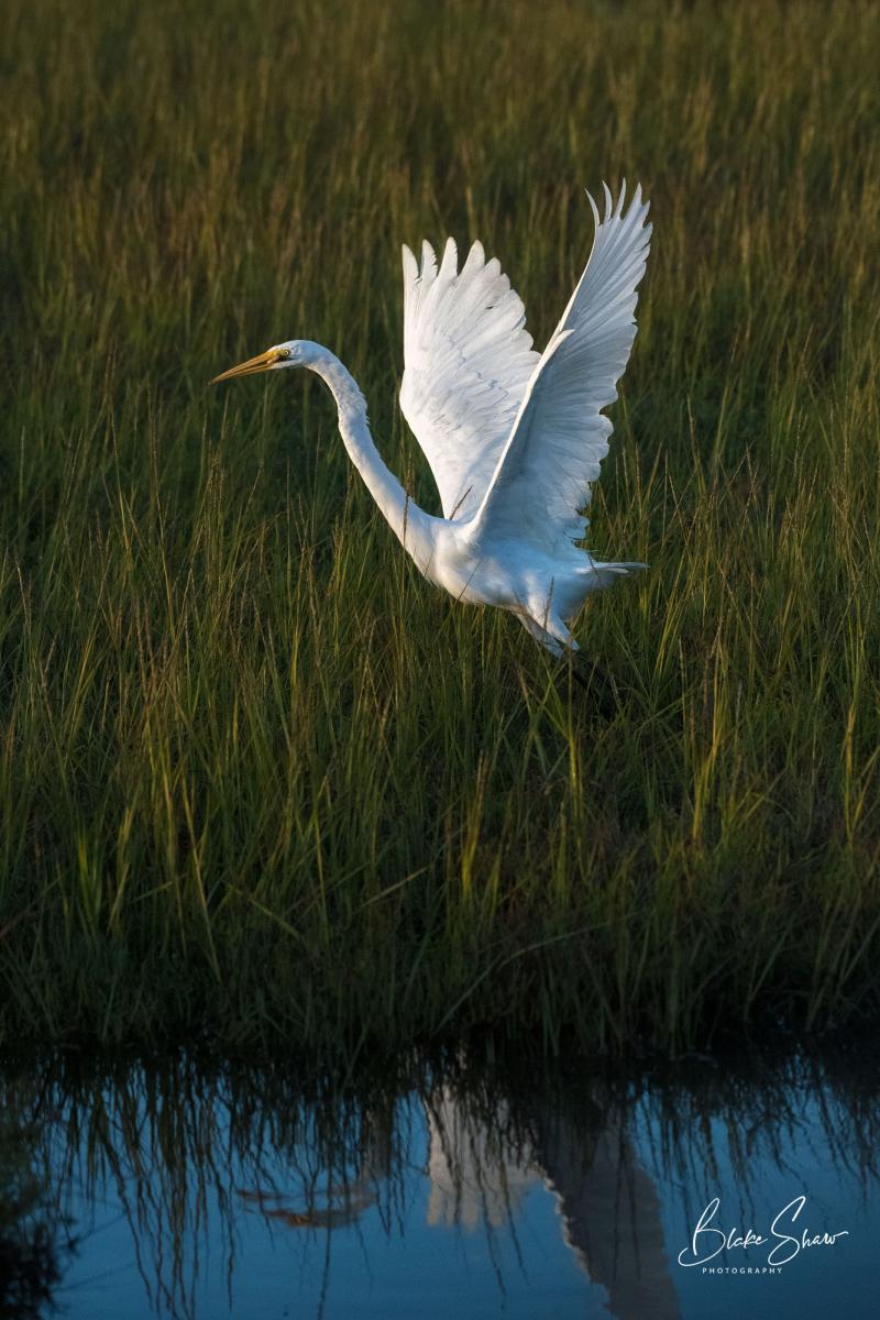 Great egret bolsa chica