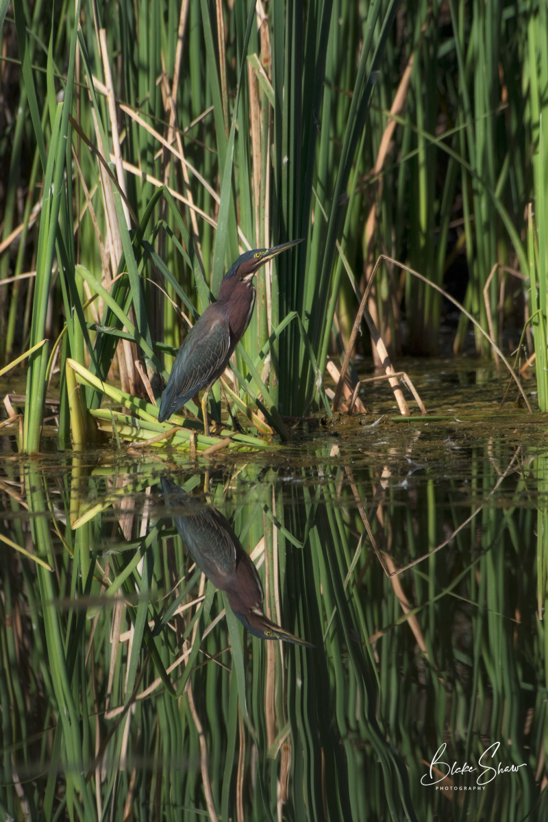 Green heron santee lakes 2