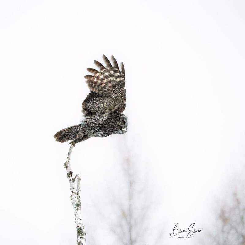 Great gray owl 2