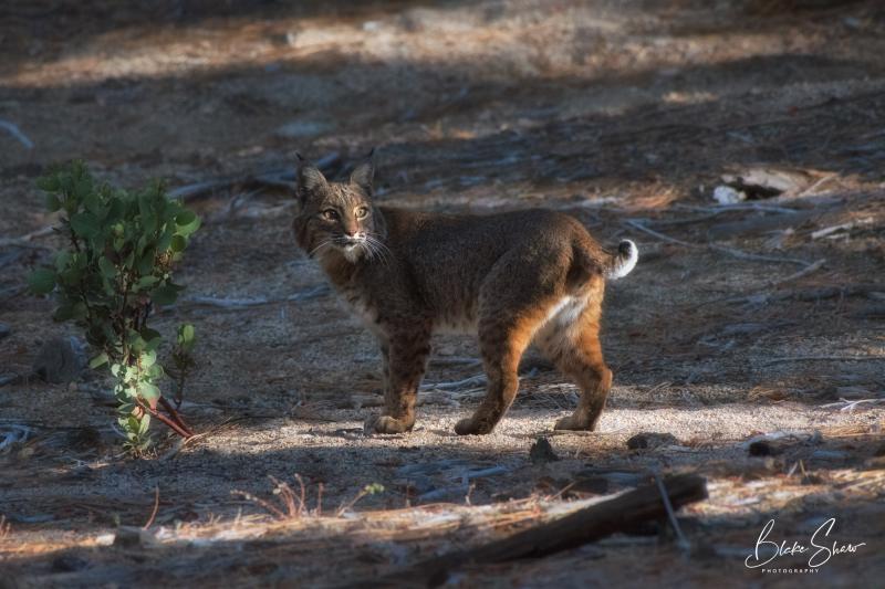 Bobcat idyllwild