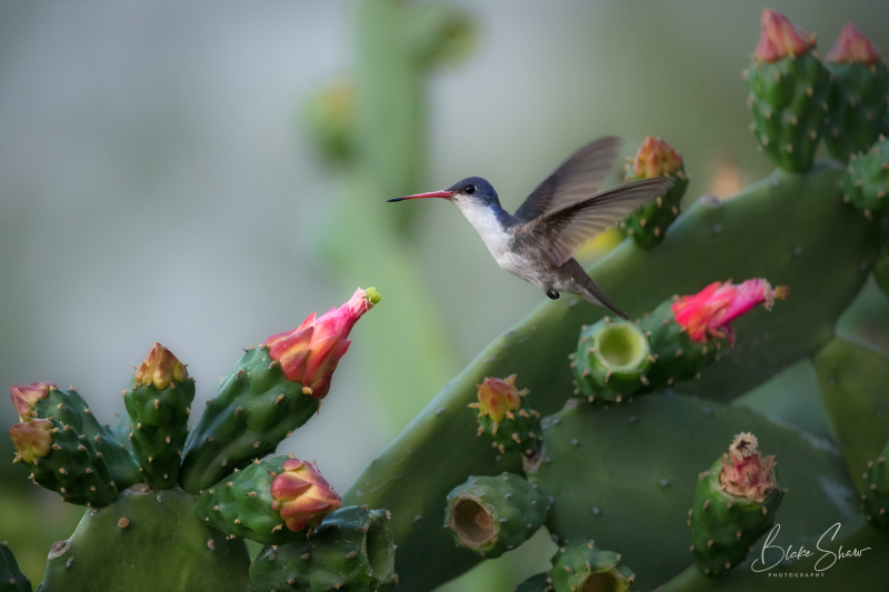 Violet-crowned hummingbird 2