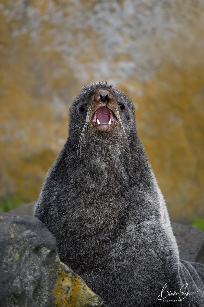 Northern fur seal copy