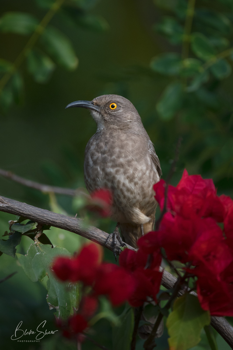 Curve-billed thrasher los mochis