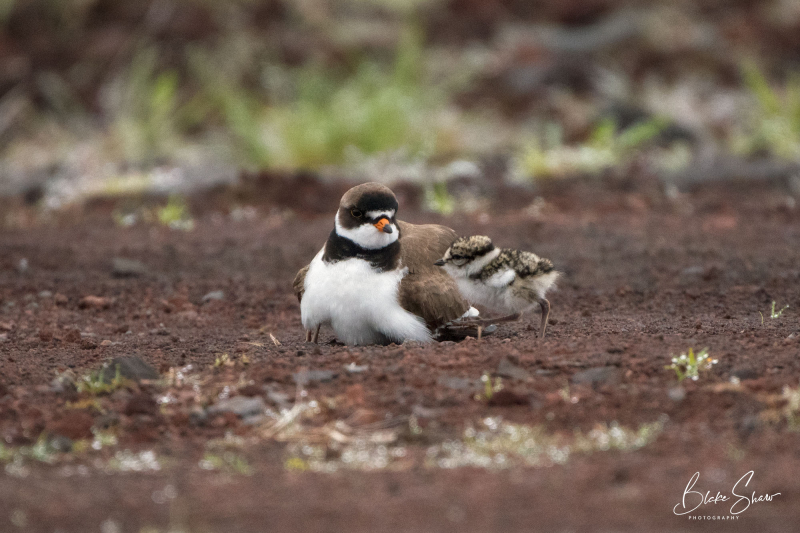 Semi-palmated plover and chicks 2