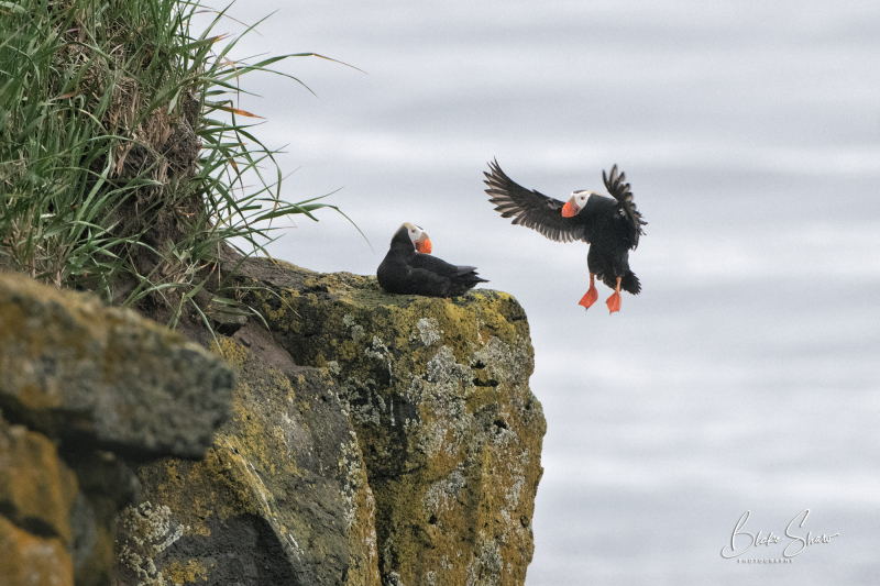 Tufted puffins st paul island