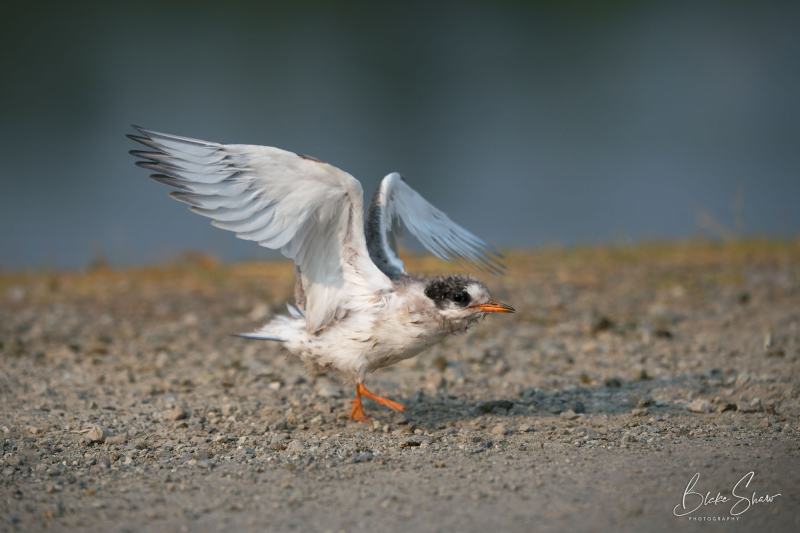 Arctic tern anchorage