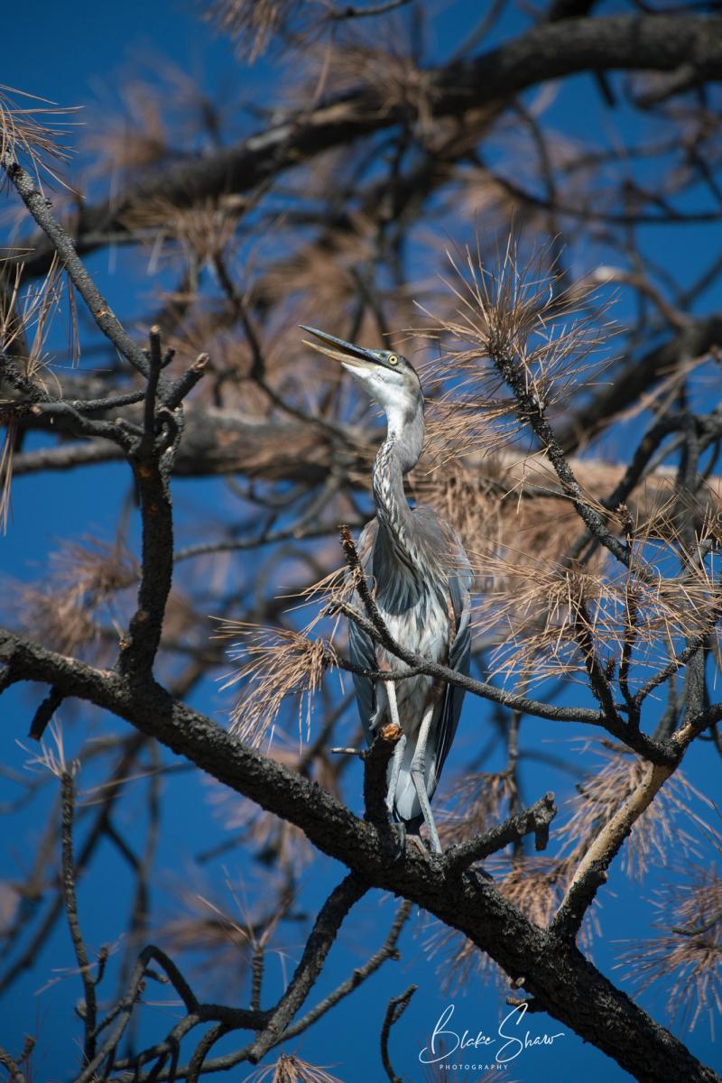 Great blue heron lake hemet