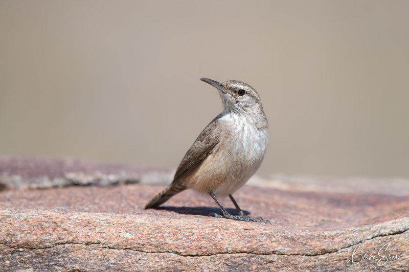 Rock wren borrego 2 copy