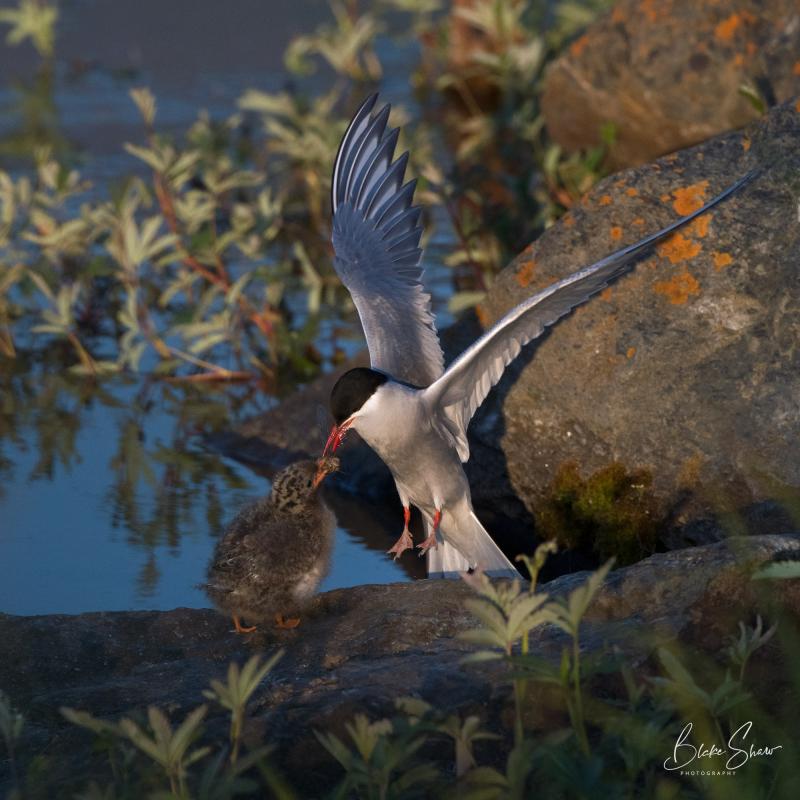 Arctic terns 2