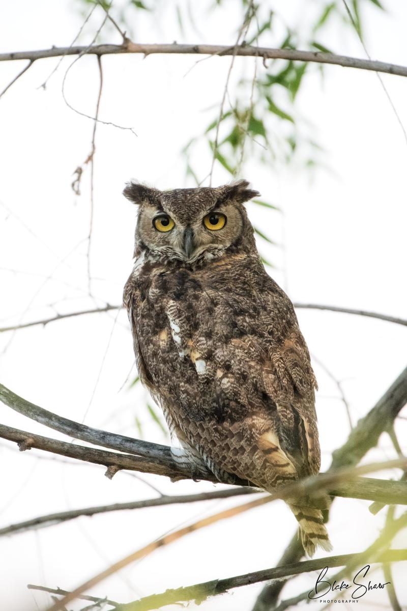 Great horned owl san jacinto