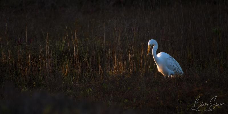 Great egret famosa slough 2