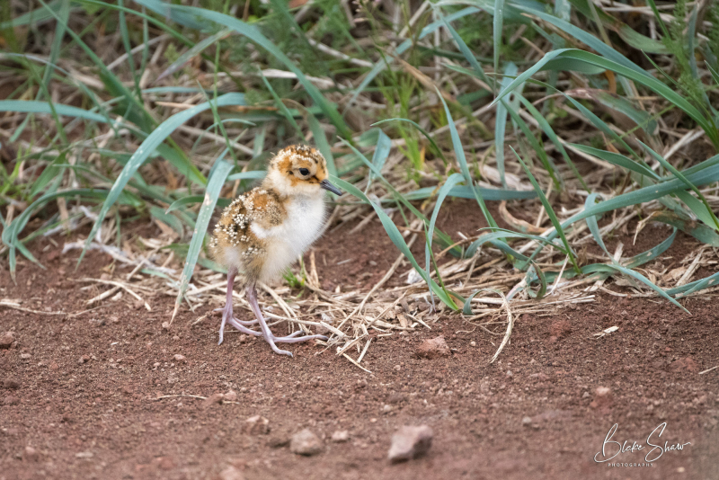 Rock sandpiper chick
