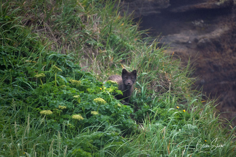Arctic fox st paul island