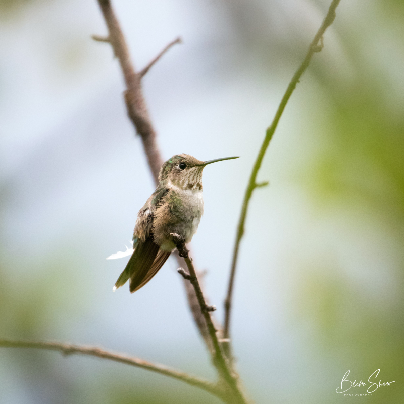 Broad-tailed hummingbird 3