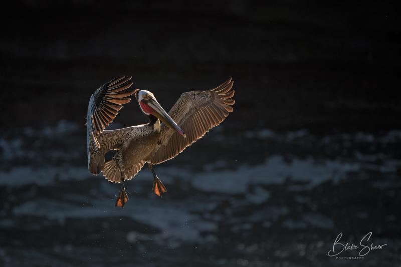 Brown pelican la jolla copy
