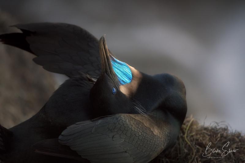 Brandt's cormorant la jolla