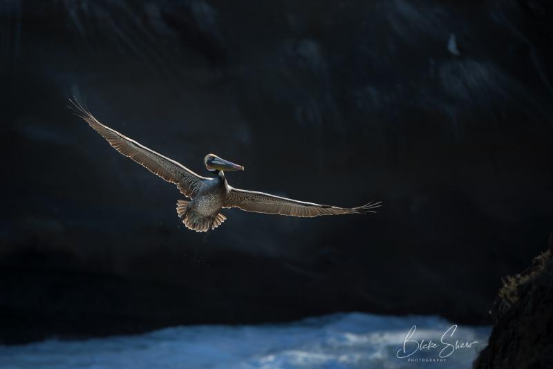Brown pelican la jolla cove 2