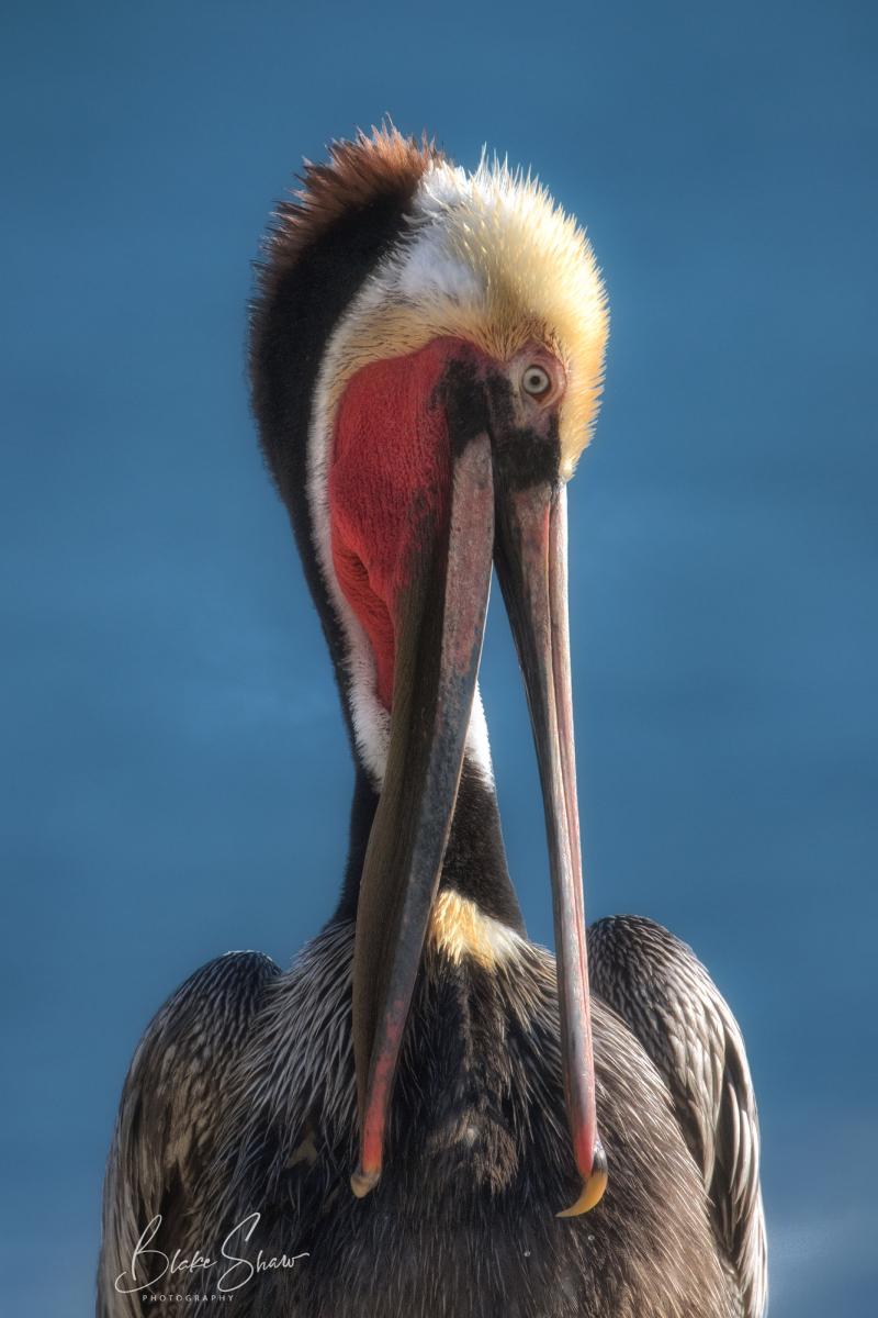 Brown pelican preening la jolla