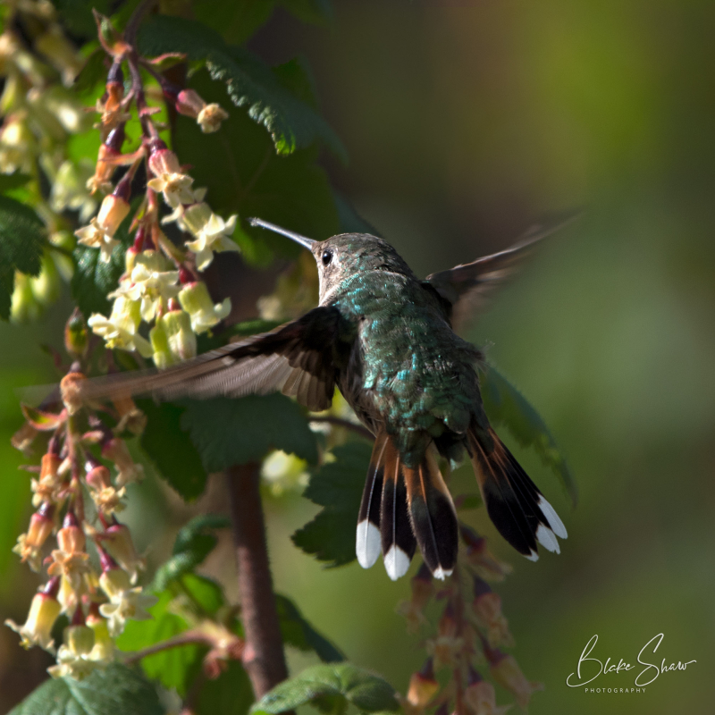 Broad-tailed hummingbird tail