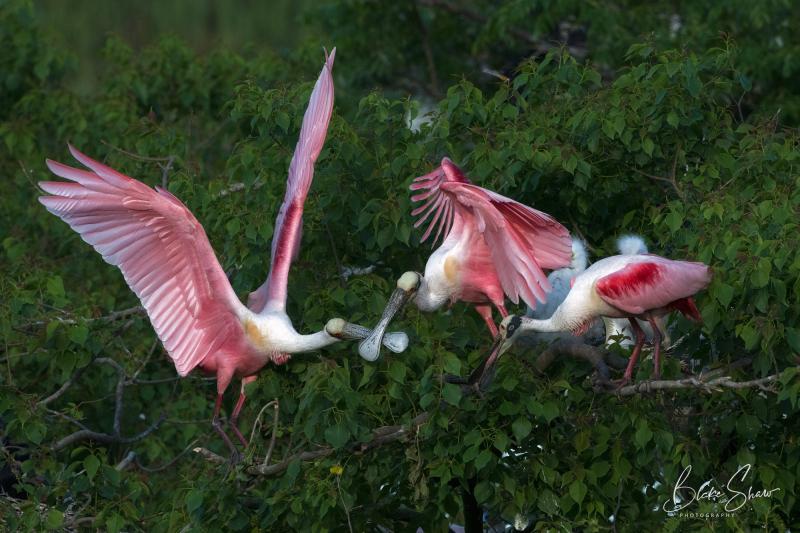 Roseate spoonbills fight