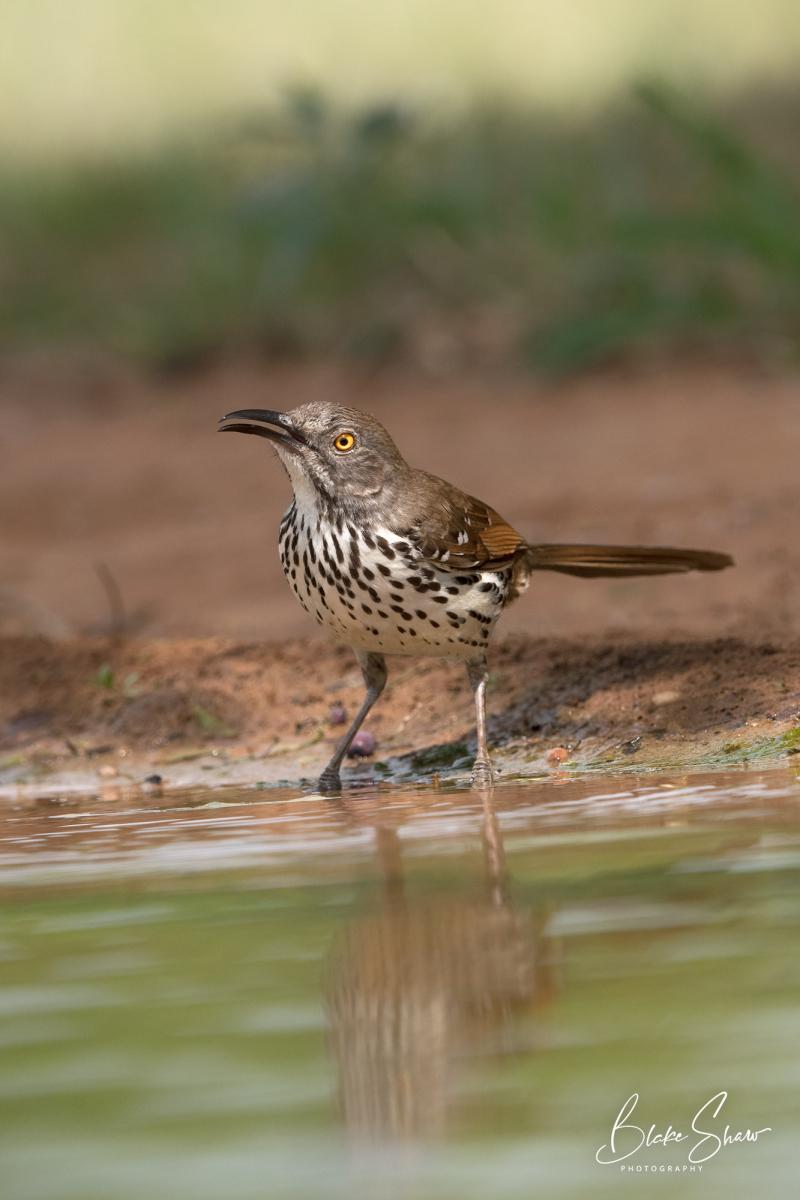 Long-billed thrasher at pond