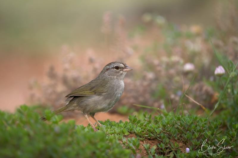 Olive sparrow laguna seca