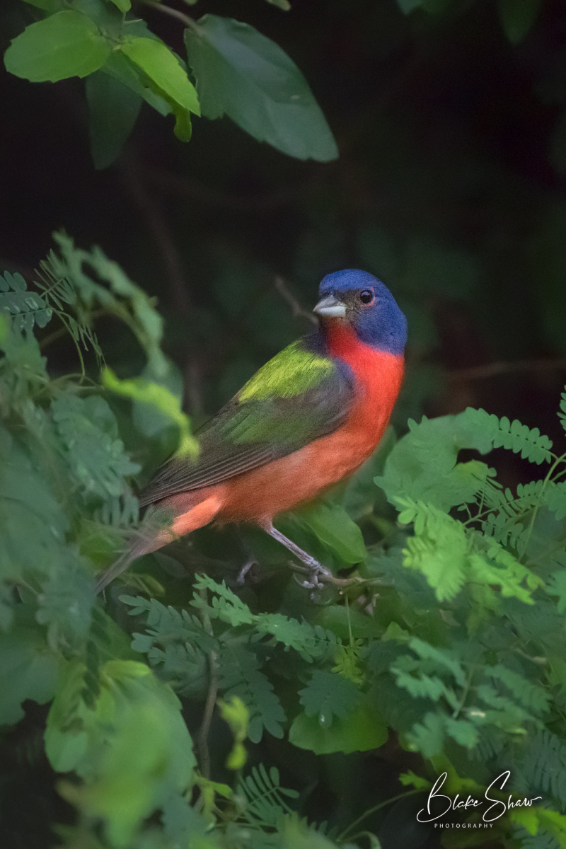 Painted bunting in tree