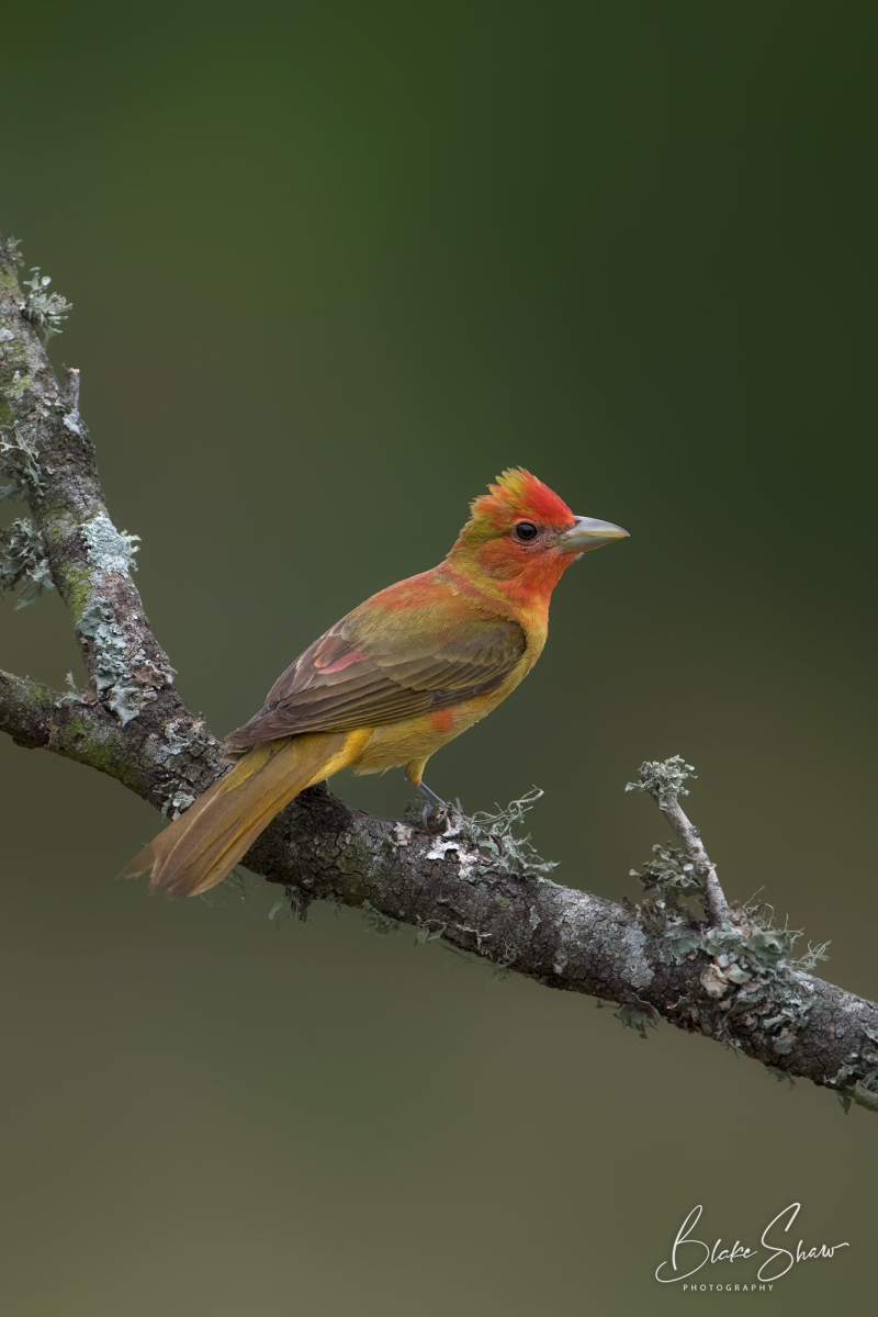 Summer tanager first year male