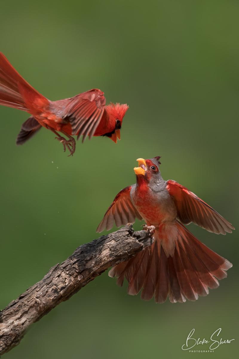 Pyrrhuloxia and cardinal