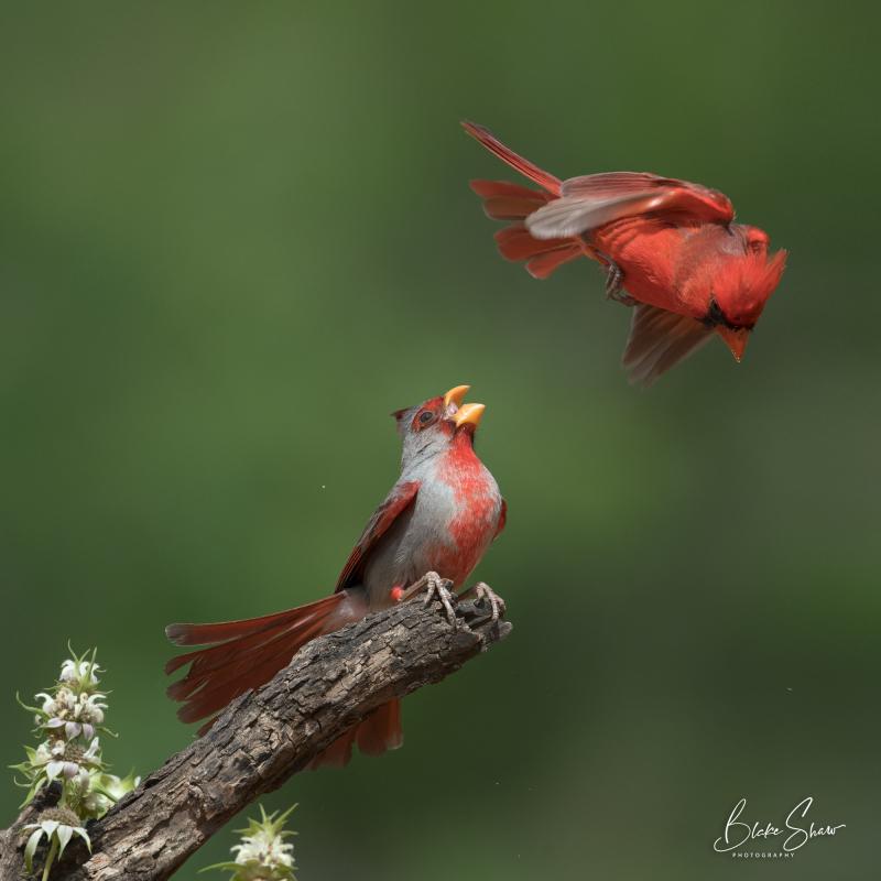 Pyrrhuloxia and cardinal 3
