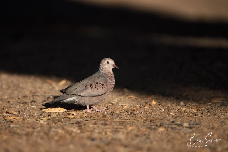 Common ground-dove salton sea