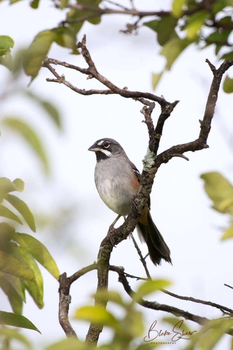 Bridled sparrow oaxaca