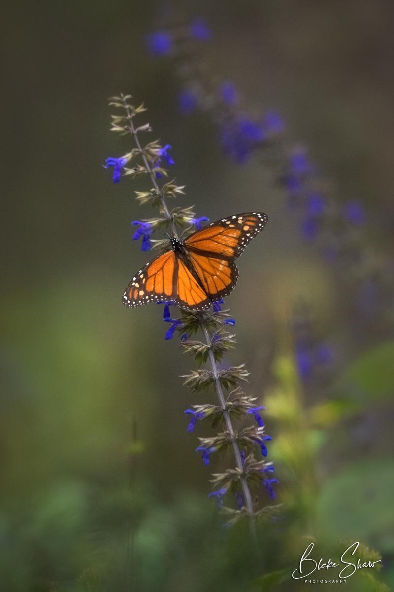 Monarch el rosario michoacan