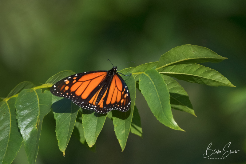 Monarch butterfly blake shaw