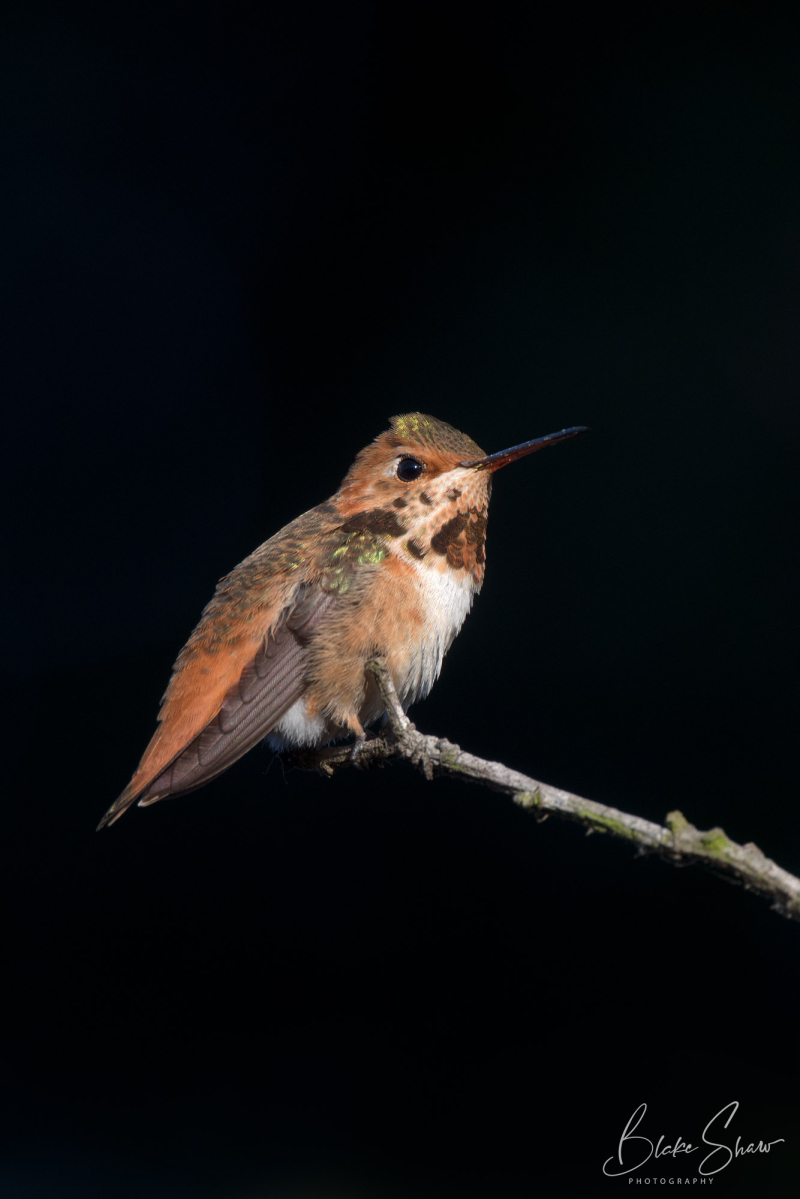 Selasphorous hummingbird blake shaw