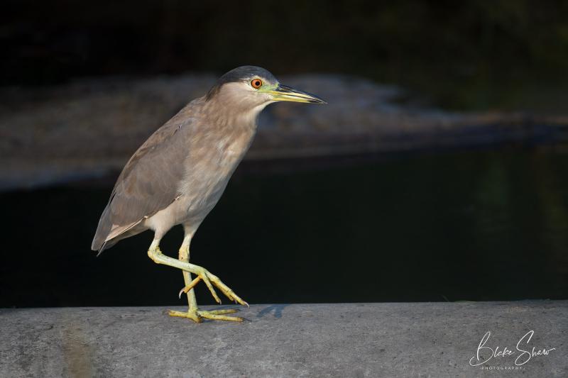 Black-crowned night-heron blake shaw