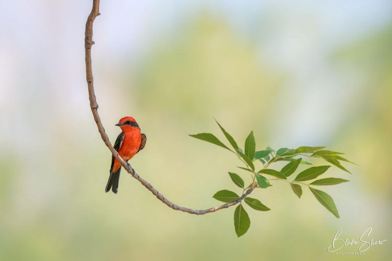 Vermilion flycatcher tucson