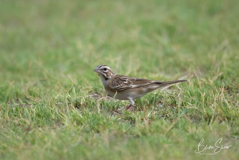 Lark sparrow tucson