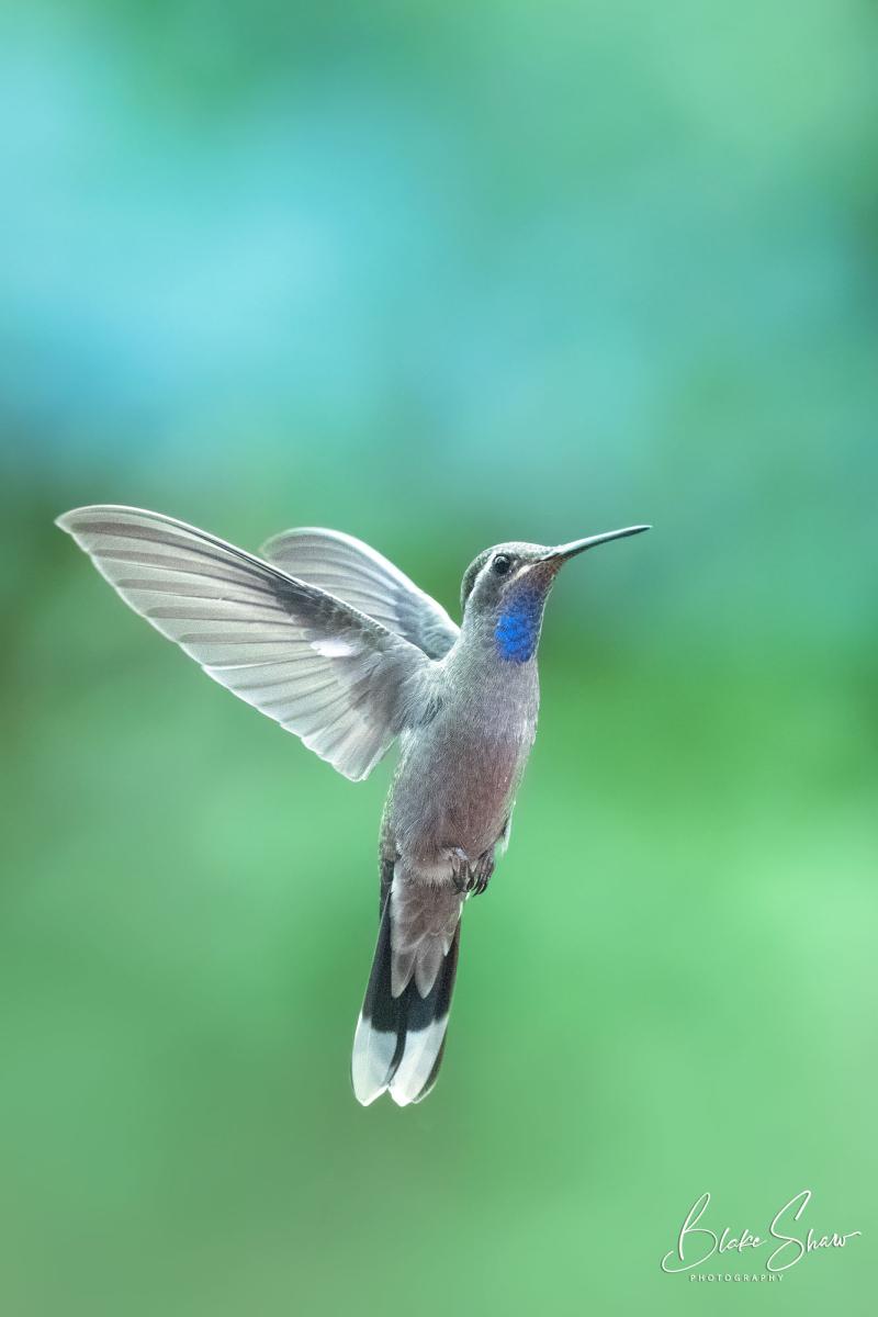 Blue-throated hummingbird blake shaw