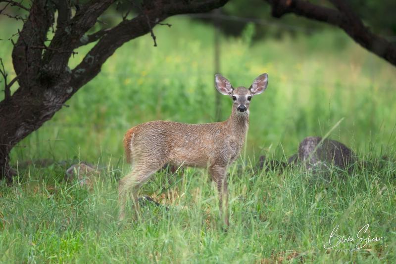 White-tailed deer az